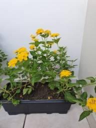 Planta Cambara Amarela