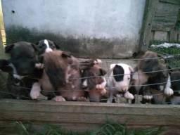 Imperdível Bull terrier inglês!!! melhor opção!!!