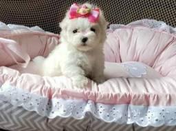 Poodle mini toy disponivel