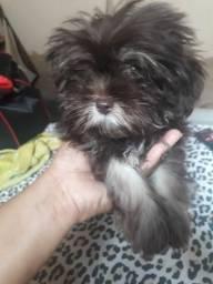 Vendo essa filhote de poodle com shitzu 3 meses ela tem