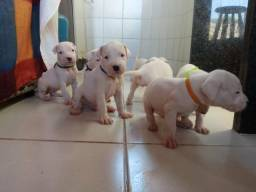 Filhotes Dogo Argentino