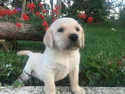 Lindos filhotes de Labrador a venda