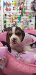 Filhote de beagle femea disponivel