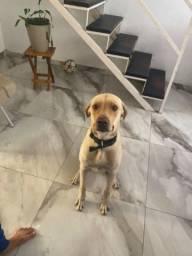 Labrador em adoção