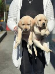 Labrador preto / chocolate / amarel0!