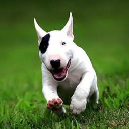 Bull Terrier vacinado vermifugado (pirata)