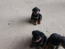 Filhotes de Rottweiler maravilhosos