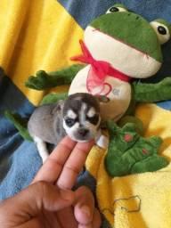 Chihuahua fêmea Pêlo curto tricolor para reserva