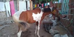 Cavalo petti rossi