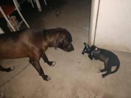 Fila Brasileiro Com Dog Alemão Filhote
