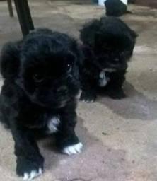 Doase filhote de. poodle com lhasa