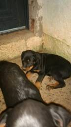 Rottweiler 400 reais