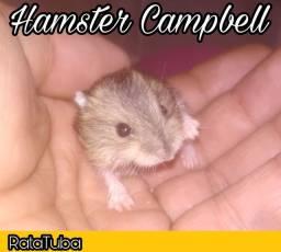 Hamster Campbell (Tubarão SC)