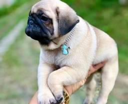 Bebês fofos e perfeitos Pug Mini Canil Recanto Ribeiros