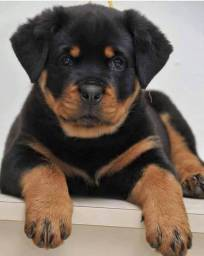 Rottweiler machinhos e fêmeas entregamos em todas regiões!