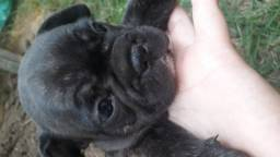 2700,00 Bulldog francês filhote