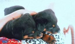 Filhotes de rottweiler disponível para venda
