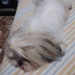 Schutz.cachorra carinhosa raça pequena. Zap *