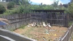Patos marrecos