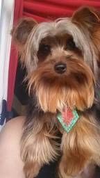 Yorkshire Terrier macho 5 anos.