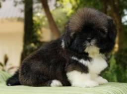 Filhote de Lhasa Apso, macho, com excelente linhagem