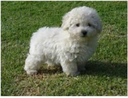 Estou querendo comprar um poodle macho +- 1 ano