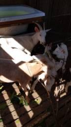 Cabras saane
