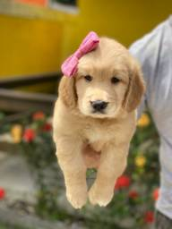 Golden Retriever baby