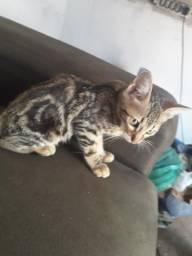 Gato american shorthair
