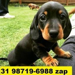 Canil Filhotes Cães Premium BH Basset Beagle Shihtzu Lhasa Poodle Yorkshire Maltês Fox