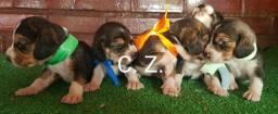 Beagle com pedigree e garantia de saúde
