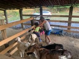 Vacas 6 e 5 bezerro