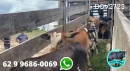 BOV2723 - 21 vacas leiteiras com crias ao pé - Hidrolândia/GO
