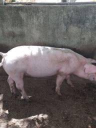 3 porcos castrados