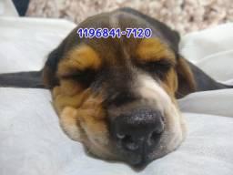 Filhotes lindos de Beagle apronta entrega só aqui...