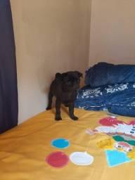 Pug Black filhote