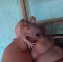 Vendo ratinhos egípcios.