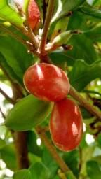 Planta do milagre (Fruta do Milagre)