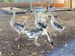 Vendas de ganso e galinha ornamentais
