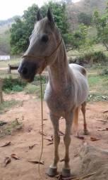 Cavalo MM registrado cavalo so produz filhos de pelagem negra