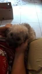 Cachorra fêmea poodle