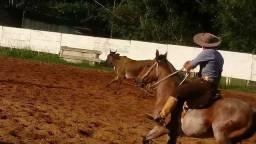 Cavalo manso bom de laço