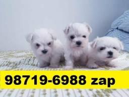 Canil Filhotes Cães Pet BH Maltês Yorkshire Shihtzu Lhasa Poodle Basset Beagle
