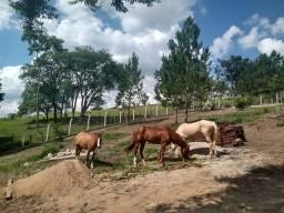 2 égua e 1 cavalo garanhão quarto de milha