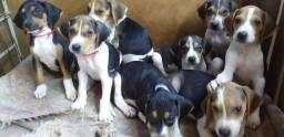 Filhotes de Foxhound Americano