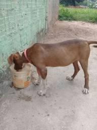 Cachorra pitbull 400 R$