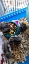Hamster filhote anão