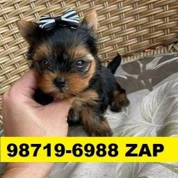 Canil Filhotes Belos Cães BH Yorkshire Basset Shihtzu Beagle Lhasa Poodle Maltês