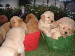 Lindos Filhotes Golden
