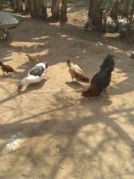 Título do anúncio: 1 Pato 1 galo 2 galinhas e 2 franguinhos em crescimento.